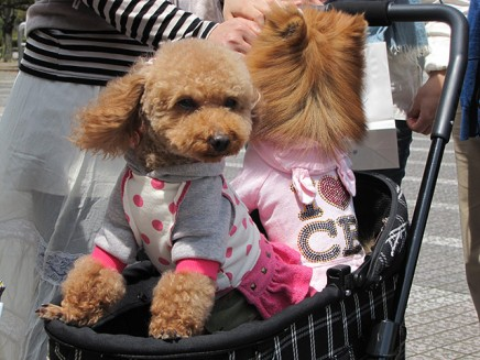Dressed up dogs in Japan